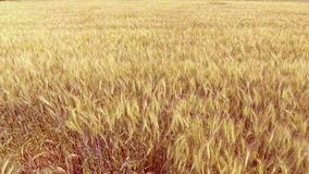 Flying over golden wheat field at beautiful summer sunset. Yellow wheat swaying in light breeze.  stock footage