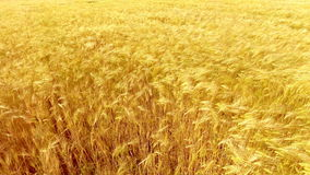 Flying over golden wheat field at beautiful summer sunset. Yellow wheat swaying in light breeze stock footage