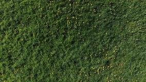 Flying over grass field and dandelions stock footage
