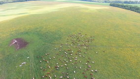 Flying over green field with grazing cows. stock video