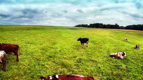 Flying over green field with grazing cows stock video