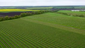Young apple tree plantings. A farm plantation. Flying over the green plantations of fruit trees. Apple orchards. top
