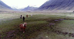 Flying over Icelandic horses in a valley. Aerial through Lambadalur valley and horse farm near Thingeyri in the Westfjords, Iceland stock video footage