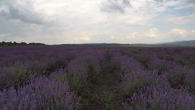 Flying over lavender fields stock video