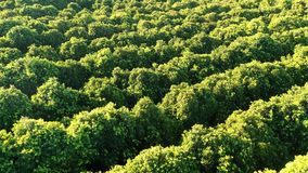 Flying over orange green orchard