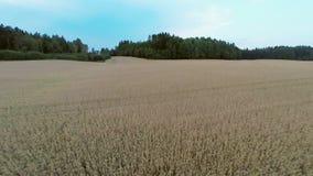 Flying over organic barley field stock video