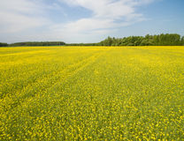 Flying over the rapeseed field with drone. Landsacape. Royalty Free Stock Images
