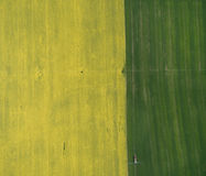 Flying over the rapeseed field with drone. Landsacape. Tractor fertilize wheat field Royalty Free Stock Image