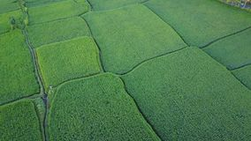 Flying over rice fields stock video footage