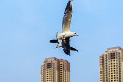 Flying over the roof of the two black-headed gulls. Royalty Free Stock Photos