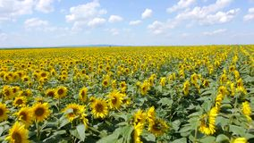 Flying over the sunflowers field stock footage