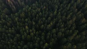 Flying over a vast lush green pine and spruce tree tops in the forest. stock video footage