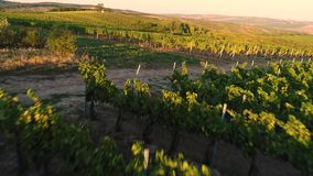 Flying over an vineyard in tuscany. Aerial flight over vineyards at sunset, flying over an vineyard in tuscany stock video