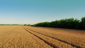 Flying Over Wheat Field. Aerial shot: Flying Over Wheat Field stock video footage