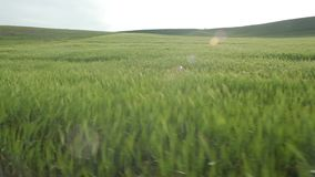 Flying over the wheat field stock video footage