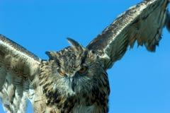 Flying owl stock image