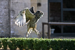 Flying owl. In bird show in France Royalty Free Stock Image