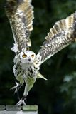 Flying owl Royalty Free Stock Photo