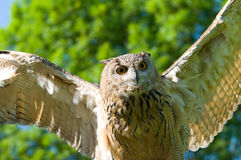 Flying owl Stock Photos