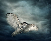 Flying owl bird. At night Stock Images