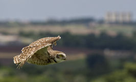 Flying owl Stock Images