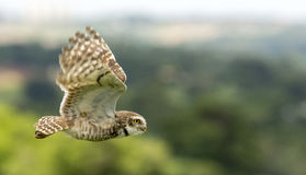 Flying owl. With blurred background stock photography