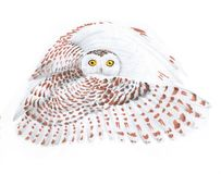 Flying owl. drawing. Flying white owl with brown spots on a white snowy background. looks at the viewer royalty free illustration