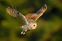 Flying owl. Owl in the forest. Owl in fly. Action scene with owl. Flying Eurasian Tawny Owl, Strix aluco, with nice green blurred Royalty Free Stock Photo