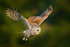 Flying owl. Owl in the forest. Owl in fly. Action scene with owl. Flying Eurasian Tawny Owl, Strix aluco, with nice green. Royalty Free Stock Photo