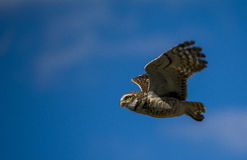 Flying owl Royalty Free Stock Image