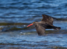 Flying oyster catcher bird. Beautiful bird in flight over blue ocean waves Royalty Free Stock Images