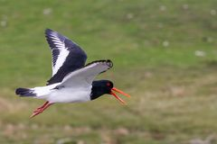 A flying oystercatcher royalty free stock image