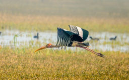 Flying Painted Stork. Big bird with orange bill and head Royalty Free Stock Images