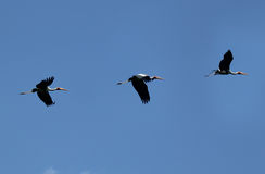 Flying painted stork Stock Images