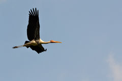 Flying Painted Stork (Ibis leucocephalus). And blue sky Stock Images