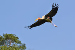 Flying Painted Stork (Ibis leucocephalus). And blue sky Royalty Free Stock Image