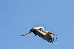 Flying Painted Stork (Ibis leucocephalus). And blue sky Royalty Free Stock Photos