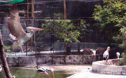 Flying painted stork Royalty Free Stock Photography