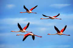 Flying pair of nice pink big bird Greater Flamingo, Phoenicopterus ruber, with clear blue sky with clouds, Camargue, France