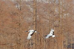 Flying pair of Red-crowned cranes with, forest background, Hokkaido, Japan. Pair of beautiful birds, wildlife scene from nature. stock photography
