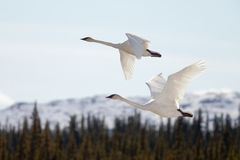 Flying pair Trumpeter Swans Cygnus buccinator Royalty Free Stock Photography