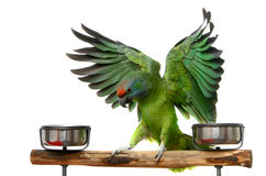 Flying parrot Stock Images