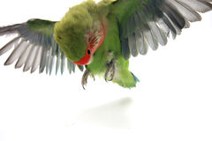 Flying parrot Royalty Free Stock Images