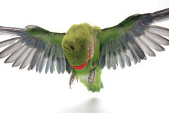 Flying parrot Stock Photo