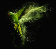 Flying parrot Alexandrine parakeet with colored powder clouds. On black background Royalty Free Stock Image