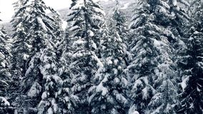 Flying Past Snow Covered Trees. Moving past large pine trees with snow on their branches in the mountains stock video footage