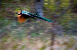 Flying peacock. Stock Images