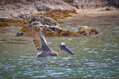 Flying pelican. Pelican flying right above ocean water in the tropics Royalty Free Stock Photos