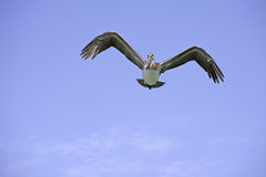 The Flying Pelican Stock Photo