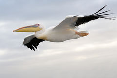 Free Flying Pelican Royalty Free Stock Image - 24681346